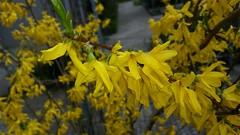 Way Home (eagle1effi) Tags: park yellow forsythia shrub forsythe s5 parkanlage naturemasterclass tannenweg4 parktannenweg