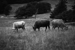 Vercors : Portrait de vaches (dgrad) (Quentin Verwaerde) Tags: portrait blackandwhite bw mountain nature animal rural forest montagne walking landscape photography countryside cow solitude photographie noiretblanc hiking nb effort lonely trio paysage vercors campagne bovine marche fort meuh vache solitaire rverie reverie efforts randonne vagrancy vagabondage bovin finkielkraut ruralit portraitdegroupe marchepied alainfinkielkraut verwaerde quentinverwaerde
