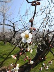 16i5355 (kimagurenote) Tags: apricot ume  japaneseapricot  prunusmume sogabairin   odawarakanagawa