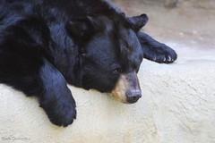 234A9205.jpg (Mark Dumont) Tags: bear black animals mammal zoo mark cincinnati dumont