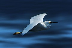 Snowy in Flight-explore (beachpeepsrus) Tags: white bird flight egret
