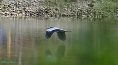 DSC_0056n wb (bwagnerfoto) Tags: vienna wien lake bird heron grey outdoor ardea t vogel cinerea graureiher bcs szrke madr wasserpark gm