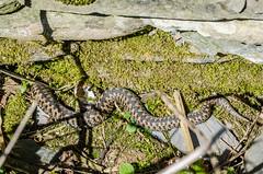 Adder - Viper berus (Matchman Devon) Tags: female south devon viper adder hams berus ringmore