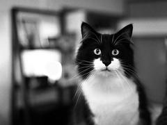 Vicke (rampx) Tags: blackandwhite bw cat pentax neko nor   norwegianforestcat miaw vicke 645z