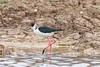 échasse blanche (TATIUMZI) Tags: france eau sony tokina marais oiseaux sudouest aquitaine gironde leteich sonyalpha tokina30028 sonyalpha700
