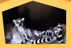 Family Life (Steve Lundqvist) Tags: family portrait pet animal cat zoo sweden stockholm lemur frame sverige lemurs stoccolma lemure svezia grunalund