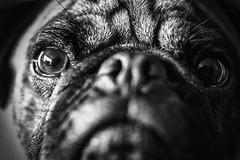 Eye see U (Scott Duffus) Tags: blackandwhite dog pet monochrome animal monster angel puppy eyes eyelashes pug depthoffield