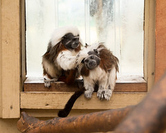 "Cotton-top tamarins (Sheep""R""Us) Tags: england unitedkingdom gb brizenorton tamarins"