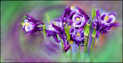 Ornamental Columbine (jerrywb2010) Tags: flowers flora nikon wyoming jacksonhole
