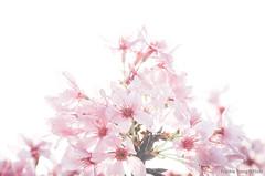 DSC_8515 (Frankie Tseng ()) Tags: park pink flowers sunset sky bw flower silhouette photography 50mm blackwhite nikon outdoor flash sunny tokina cherryblossoms fade nikkor 70300mm tamron 90mm f8 1224mm f28 f4 1870mm bwphotography blackwhitephotography portraitphotography outdoorportrait sb900 yongnuo outdoorportraitphotography yn568