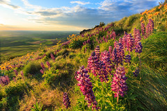 Lupine and Sunset on Steptoe Butte (Matthew Singer) Tags: sunset washington unitedstates wildflowers garfield palouse scenicviews steptoebutte