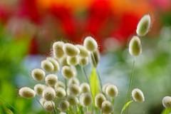 /Lagurus ovatus-5 (nobuflickr) Tags: flower nature japan botanical kyoto   the garden  lagurusovatus awesomeblossoms    20160419dsc07510