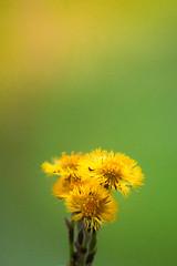 Finally spring (mpakarlsson) Tags: light orange plant flower nature yellow spring focus dof bokeh 135 gree 135mm tussilago farfara 135l 135lf2 5dmarkii 5dii 5dm2 5dmark2