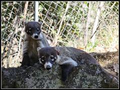 Coati (MaPeV) Tags: gatos tepoztlan morelos coati tejon solos pizotes guaches cuchuchos cusumbos cusumbosolos