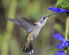 RTH sampling blue/black salvia 9-11-15_015 (pmsswim) Tags: september colibr rubythroatedhummingbird latesummer inthegarden 2015 salviaguaranitica blueandblacksalvia akathehumbirdjungle