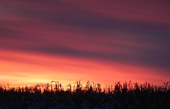 Till the sun goes down.... (Jeannette Greaves) Tags: sunset field moving corn cows hugh wires jeannette 2015 decto