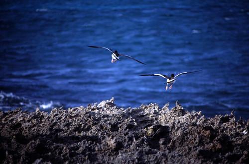 "Bahamas 1989 (355) Eleuthera: Amerikanischer Austernfischer, Harbour Island • <a style=""font-size:0.8em;"" href=""http://www.flickr.com/photos/69570948@N04/24011757309/"" target=""_blank"">View on Flickr</a>"