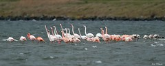 Flamingo's / Phoenicopterus roseus / Phoenicopterus chilensis (Eric Tilman) Tags: flamingos grevelingen chilensis phoenicopterus roseus battenoord