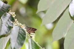 Urbanus proteus proteus (Linnaeus, 1758) (alrcardoso) Tags: butterfly amazon skipper borboleta proteus skippers amaznia longtailed hesperiidae urbanus salicaceae flacourtiaceae casearia eudaminae urbanusproteusproteus caseariasylvestris