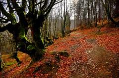 _DSC3489 (andoni.guridi) Tags: winter españa spain enero bosque invierno euskadi oñati gipuzkoa basoa 2016 hayedo negua urtarrila araotz degurixa