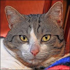 (2224) Oscar d'Albaida (QuimG) Tags: pet naturaleza nature cat nikon natura textures gato retouch gat retoque retoc specialtouch quimg quimgranell joaquimgranell afcastell obresdart