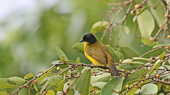 Black-capped Bulbul (jaytee27) Tags: srilanka blackcappedbulbul naturethroughthelens