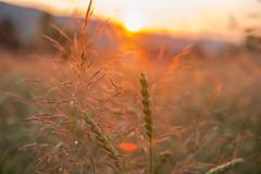 Summerday ends (schtART) Tags: light plant field sunrise switzerland abend licht nikon sonnenuntergang farm sommer wheat pflanzen feld sonne weizenfeld menziken lichteinfall d700