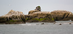 Gannet Colony, Black Reef, Cape Kidnappers, Hawkes Bay, NZ 8/2/16 (Grumpy Eye) Tags: black nikon 300mm cape 28 nikkor reef colony gannet kidnappers d7000