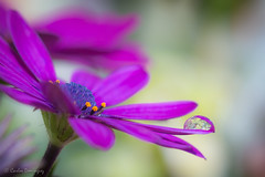 African Daisy and water droplet (CarlosDominguez812) Tags: flower macro water canon garden purple bokeh african drop 100mm daisy f28 canon70d daforce812