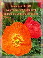 Sucht den HERRN / Seek the LORD (Martin Volpert) Tags: flower fleur jesus flor pflanze bible blomma christianity blume fiore blte bibel blomster virg christus lore biblia bloem blm iek floro kwiat flos papaveraceae ciuri klatschmohn mohnblume papaverrhoeas bijbel kvet kukka cvijet flouer glauben christentum blth cvet zieds is floare  klatschrose blome iedas bibelverskarte isaiah556 mavo43 mohngewchse jesaja556