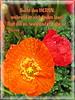 Sucht den HERRN / Seek the LORD (Martin Volpert) Tags: flower fleur jesus flor pflanze bible blomma christianity blume fiore blüte bibel blomster virág christus lore biblia bloem blóm çiçek floro kwiat flos papaveraceae ciuri klatschmohn mohnblume papaverrhoeas bijbel kvet kukka cvijet flouer glauben christentum bláth cvet zieds õis floare תנך klatschrose blome žiedas bibelverskarte isaiah556 mavo43 mohngewächse jesaja556