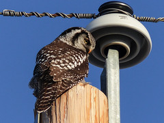 On the hunt (annkelliott) Tags: winter canada bird nature birds adult outdoor hunting alberta owl perched utilitypole ornithology avian backview excellence northernhawkowl surniaulula annkelliott avianexcellence anneelliott nwofcalgary fz200 fz2003 nexttoinsulator 11february2016