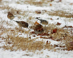 Fox Sparrow (FOSP) Passerella iliaca (kevingilesbirds) Tags: winter ontario canada bird grass birds photography photo kevin photographer birding norfolk january pic sparrow fox species giles various ornithology rare count passerella 2016 iliaca fosp ebird