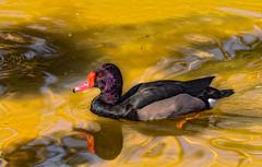 Rosy-Billed Pochard MG_0008 (3Bs7Gs) Tags: southamerica water argentina dallas duck pond texas waterbird aquatic waterfowl pochard dallaszoo divingduck nettapeposaca neotropical rosybilled redbilledduck redeyedduck exoticwaterbird
