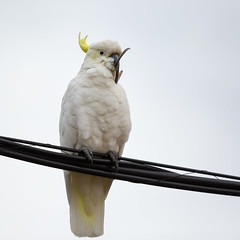 Found: Salvador Dali's Moustache (GreyStump) Tags: bird nature beak parrot australia moustache canberra salvadordali deformed sulphurcrestedcockatoo greystump copyrightcolinpilliner birdsulph