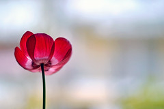 anemone -without texture- (S.A.photos) Tags: red flower nature beauty closeup 50mm colours dof blossom bokeh depthoffield anemone romantic f18 nikond3200
