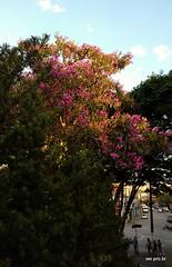 Quaresmeiras (@profjoao) Tags: paisagem jardim crepusculo fimdetarde tibouchina paisagemurbana quaresmeira tibouchinagranulosa jaguar granulosa florroxa jaguare igrejacatolica fimdedia joaocesar paroquiasaojose aulanossa paroquiasaojosedojaguare profjoaonetbr wwwprofjoaonetbr aulanossacom aulanossanet aulanossanetbr paroquiasaojosejaguare verprobr jardimdaigreja