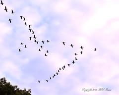 Autumn Canada Geese in Aerodynamic Flight Pattern Over (2 of 3) Duke Farms of Hillsborough NJ (takegoro) Tags: pink autumn sunset canada fall nature clouds geese pattern dusk flight v vee sanctuary naturepreserve magic dukefarms nj hour hillsborough