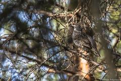 Pyy (Tetrastes bonasia) ♂, Hazel grouse (pohjoma) Tags: lintu pyy bird canoneos5dmarkiii canonef100400mmf4556lisusm hazelgrouse tetrastesbonasia kanalintu finland wildlife branch tree