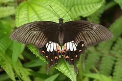 Common Mormon (moloch05) Tags: malaysia taman negara