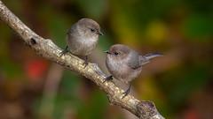 Friendly Advice (Gabriel.Lascu) Tags: bushtit littlebird psaltriparusminimus twobirdsonabranch americanbushtit gabriellascu