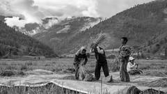 India_North_East_121 (Georg Dombrowski) Tags: life blackandwhite bw india rice harvest reis schwarzweiss ernte swsw streetphotograhy northeastindia sangtivalley sangtievalley arunachlpradesh