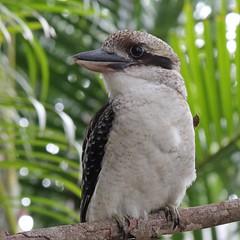 Wednesday Kookaburra (Gillian Everett) Tags: bird backyard native queensland kookaburra
