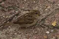 IMG_1387 (Lightcatcher66) Tags: florafauna makros spatzensparrows lightcatcher66