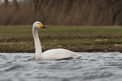 Wilde zwaan - Whooper swan (aaronmeijer2) Tags: bird animal canon photography eos swan outdoor wildlife waterfowl castricum wildlifephotography aquaticbird hoefijzermeer 450d noordhollandsduinreservaat