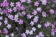 "Desert Phlox • <a style=""font-size:0.8em;"" href=""http://www.flickr.com/photos/63501323@N07/24742743982/"" target=""_blank"">View on Flickr</a>"