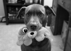 Mine! (AlexRuz) Tags: dog love dogs puppy toy toys blackwhite doggy chesapeake chesapeakebayretriever lovemydog ilovemychessie