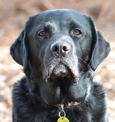 My lovely boy  (Sharron Burns) Tags: portrait pet black labrador