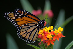 Flowers? For me?!! (KsCattails) Tags: red food orange white plant black flower nature yellow blackbackground butterfly insect blossom native outdoor monarch nectar spotted milkweed maro nectaring