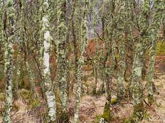 Lichens on birch, Taynish NNR (Niall Corbet) Tags: forest woodland scotland argyll lichen birch betula nnr nationalnaturereserve taynish
